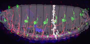 Figura 1. Larva de D.melanogaster a la izquierda. Diagrama esquemático de los órganos sensoriales en un  hemisegmento a la derecha. En rojo expresión de ATK.