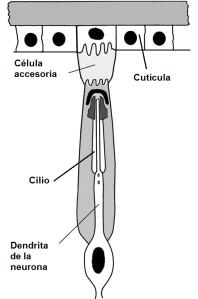 Figura 3. Diagrama representative de un órgano cordotonal.